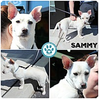 Adopt A Pet :: Sammy - Kimberton, PA
