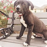 Adopt A Pet :: Roady - Seattle, WA