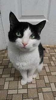 Domestic Shorthair Cat for adoption in Queenstown, Maryland - Bogart