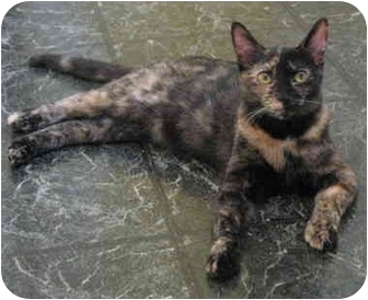 Domestic Shorthair Cat for adoption in Cincinnati, Ohio - Sally