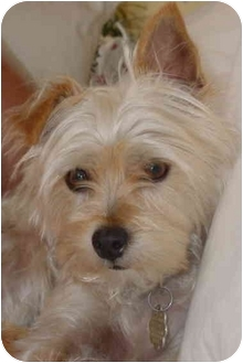 Silky Terrier/Yorkie, Yorkshire Terrier Mix Dog for adoption in West Palm Beach, Florida - Diamond