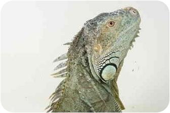 Iguana for adoption in Richmond, British Columbia - George