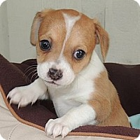 Adopt A Pet :: Suki - La Habra Heights, CA