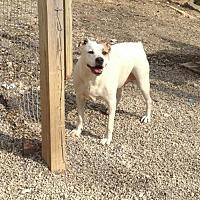 American Bulldog Mix Dog for adoption in Poland, Indiana - Pugsley