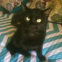 Domestic Shorthair Cat for adoption in Burlington, North Carolina - BLACKIE