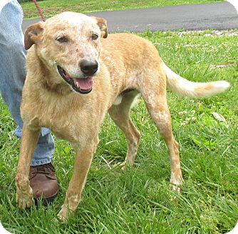 Blue Heeler Mix Dog for adoption in Reeds Spring, Missouri - Dexter