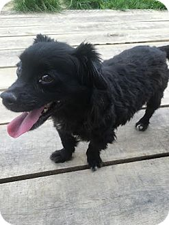Cocker Spaniel Mix Dog for adoption in Lucasville, Ohio - PATTEN