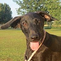 Labrador Retriever Mix Puppy for adoption in Westport, Connecticut - Ellis