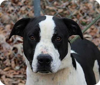 Boxer Mix Dog for adoption in Hagerstown, Maryland - Patsy