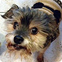 Adopt A Pet :: Puma - Adopted! - Farmington Hills, MI