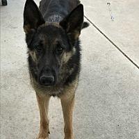 German Shepherd Dog Dog for adoption in Victorville, California - Victorville