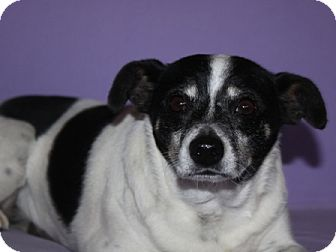 Terrier (Unknown Type, Medium) Mix Dog for adoption in Phelan, California - Rizzo