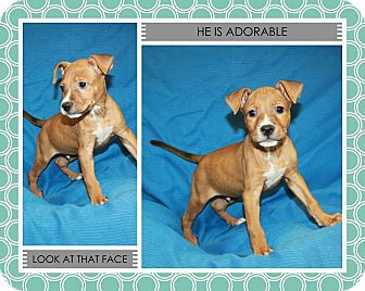 Pit Bull Terrier Mix Puppy for adoption in Lufkin, Texas - Jagger