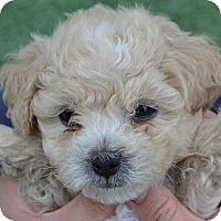Adopt A Pet :: Gavin - La Costa, CA