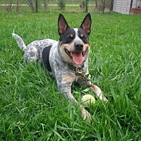 Australian Cattle Dog/Blue Heeler Mix Dog for adoption in Guelph, Ontario - Finley