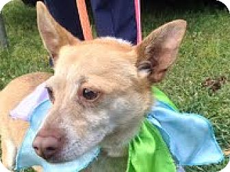 Chihuahua Mix Dog for adoption in Darlington, South Carolina - Jon Jon