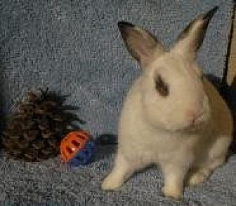 Dwarf Hotot Mix for adoption in Los Angeles, California - Charlie