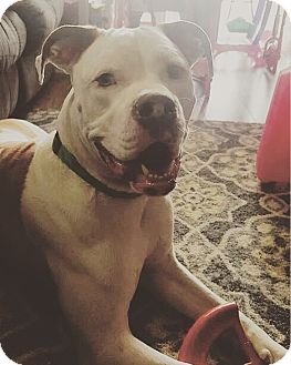 American Bulldog/American Staffordshire Terrier Mix Dog for adoption in Cherry Hill, New Jersey - Brody