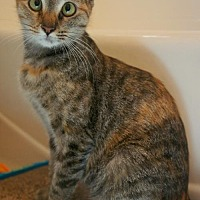 Siamese Cat for adoption in Buford, Georgia - Harriet