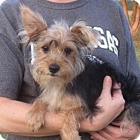 Adopt A Pet :: Lester - Westport, CT