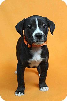 Blue Heeler Mix Puppy for adoption in Westminster, Colorado - INDIANA