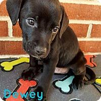 Adopt A Pet :: Dewey - Toledo, OH