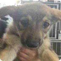 Adopt A Pet :: A427142 - San Antonio, TX