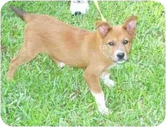 Australian Shepherd/Collie Mix Puppy for adoption in Kingwood, Texas - Little Lost Princess