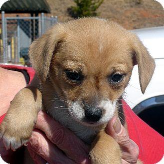 Beagle/Spaniel (Unknown Type) Mix Puppy for adoption in Greencastle, North Carolina - Twinkie