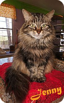 Domestic Longhair Cat for adoption in Converse, Texas - Jenny