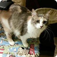 Domestic Longhair Cat for adoption in Green Cove Springs, Florida - Fain