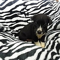 Adopt A Pet :: Charlie-pending adoption - Manchester, CT