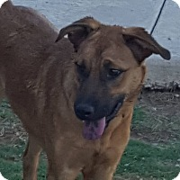 Pointer/Shepherd (Unknown Type) Mix Dog for adoption in Las Cruces, New Mexico - Shylee