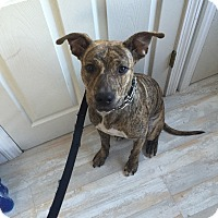 Boxer/American Pit Bull Terrier Mix Puppy for adoption in New Haven, Connecticut - Dino