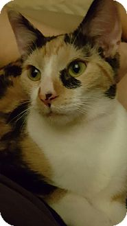 Calico Kitten for adoption in Mesa, Arizona - Jinx