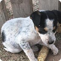 Adopt A Pet :: Ricky - Tucson, AZ