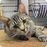 Domestic Shorthair Cat for adoption in Reeds Spring, Missouri - Naveen