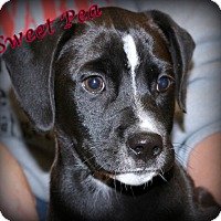 Adopt A Pet :: Sweet Pea~adopted! - Glastonbury, CT