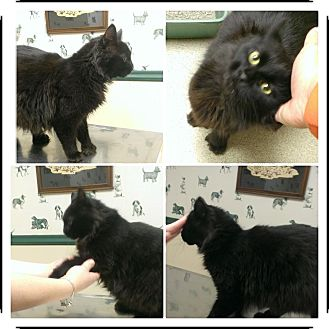 Domestic Mediumhair Kitten for adoption in bridgeport, Connecticut - Arya