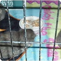 Adopt A Pet :: Kittens - 4 in cage - Westfield, MA