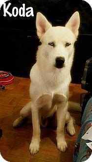 Siberian Husky Dog for adoption in Clearwater, Florida - Koda