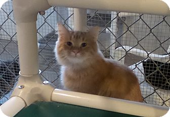 Domestic Longhair Cat for adoption in Geneseo, Illinois - Axel