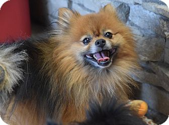 Pomeranian Mix Dog for adoption in Des Moines, Iowa - Coco