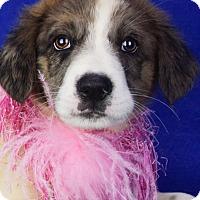 Adopt A Pet :: Clara - Denver, CO