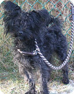 Papillon/Poodle (Miniature) Mix Dog for adoption in bridgeport, Connecticut - Pierre