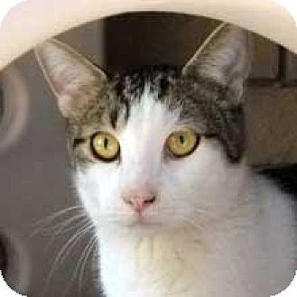 Domestic Shorthair Cat for adoption in Phoenix, Arizona - Zeke