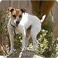 Adopt A Pet :: Zuzu - Scottsdale, AZ