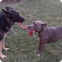 Adopt A Pet :: GUNNER - Los Angeles, CA