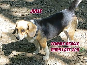 Beagle Dog for adoption in Huddleston, Virginia - Julie
