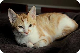 Domestic Shorthair Kitten for adoption in Marietta, Georgia - Butterscotch